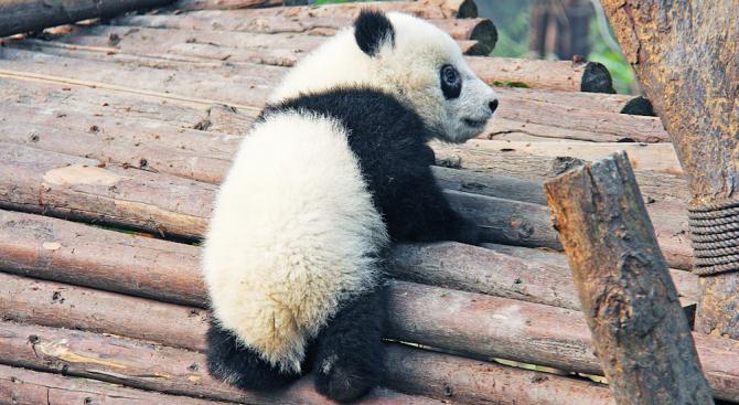 Първата родена във Франция панда навърши 1 годинка (снимки)