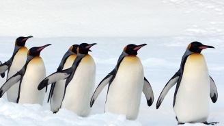 Най-голямата колония кралски пингвини намаля драстично