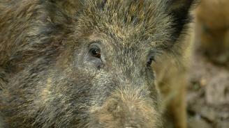 Спираме с вълча урина румънските диви прасета на границата