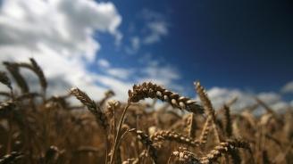 Тежките климатични условия вдигат цената на пшеницата