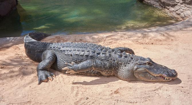 Крокодилите могат да допринесат за лечението на увредени стави при хората