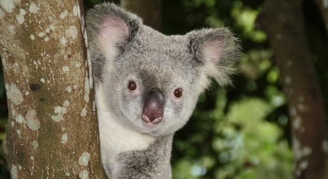 Симпатична коала изненада пътници в самолет (видео)