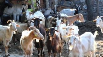 """Днес изтича последният срок за овцевъди и козевъди да кандидатстват за подпомагане по системата """"де минимис"""""""