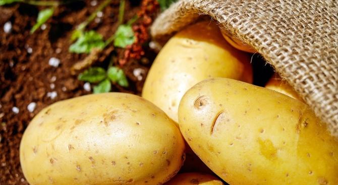 Гигантски картоф удиви стопанин си. Растението бе извадено от земята