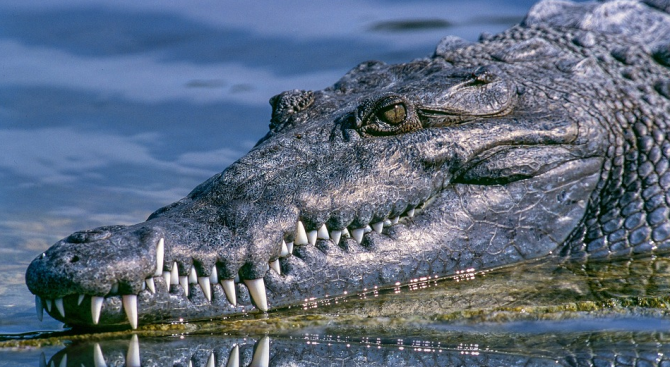 Вижте най-възрастния алигатор, живеещ в плен - Муя (видео)
