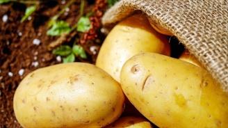 Гигантски картоф удиви стопанин (снимки)