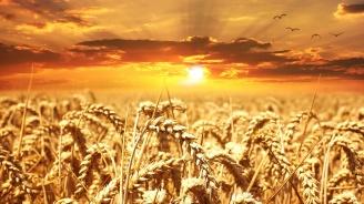 Реколтирани са 64% от засетите с пшеница площи в Пернишко