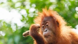 Индонезийски орангутан албинос ще обитава собствен остров (снимка)
