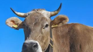 Огнище на туберкулоза по говедата в Стрелча