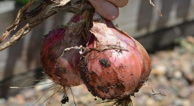 Британският градинар Дейвид Стотард отгледа кромид лук с тегло 4,54