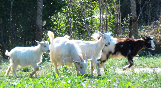 В Благоевградско няма чума по дребните преживни животни