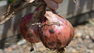 Британски градинар отгледа почти 5-килограмов лук