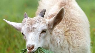 Изплащат субсидиите по de minimis на овцевъди и козевъди