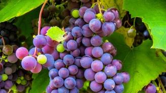 Започна гроздоберът във Велики Преслав