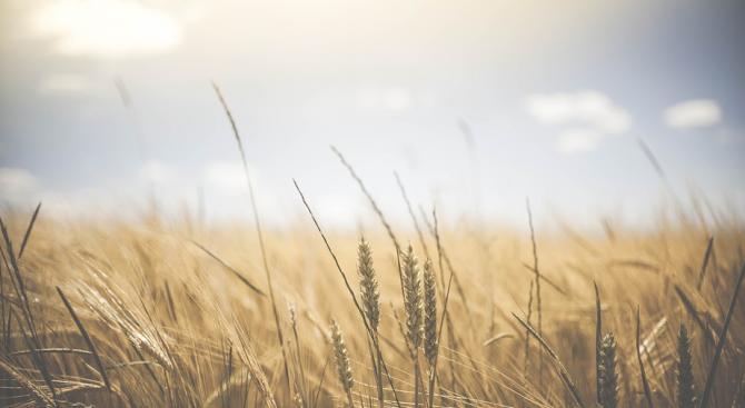 Приключи жътвата на пшеницата в общините Земен и Ковачевци в