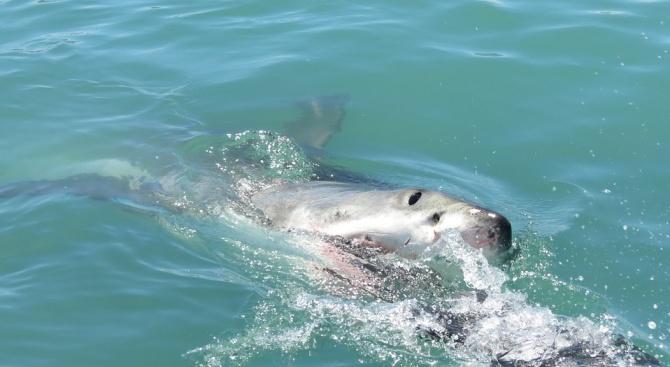 Американец разказа за атака на акула, която е преживял, съобщава