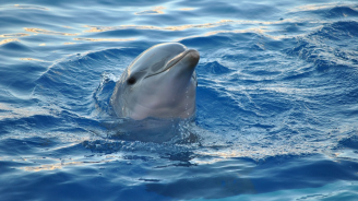 """Учени подозират делфин, че """"учи"""" чужди езици"""