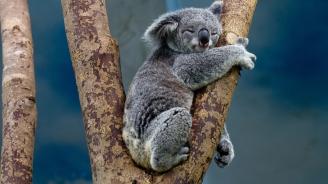 Коалите изчезват до 2050 г. заради изсичането на горите