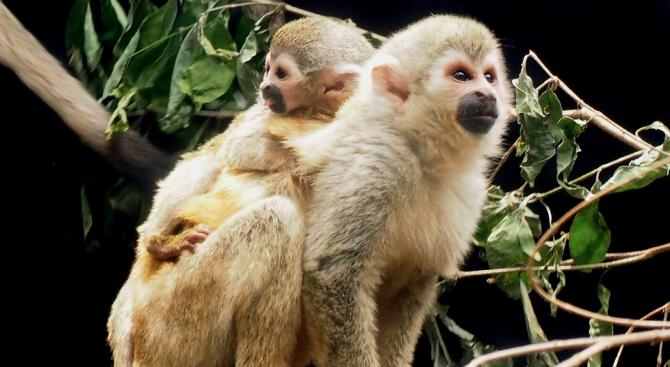 Паякообразна маймуна се роди в Колумбия