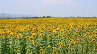 В Добричка област вече са прибрани 157 947 тона слънчогледово семе