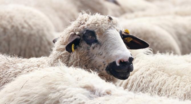 Собствениците на овцете в Болярово твърдят, че 11-те животни, които