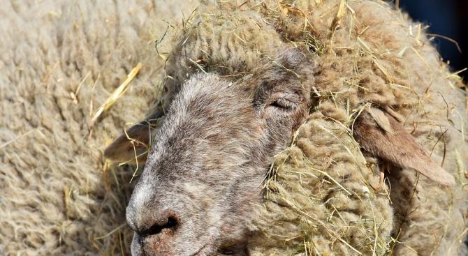 Случай на бруцелоза по дребните преживни животни е открит в