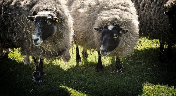 Трите положително реагирали за бруцелоза овце от огнището в село