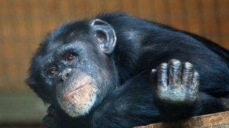 Шимпанзетата също будуват през нощта