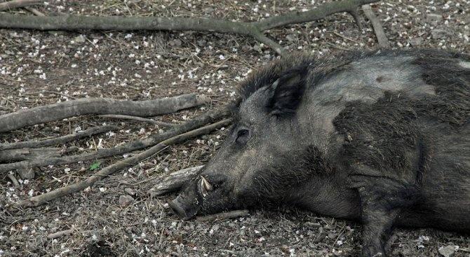 Груповият лов на дива свиня се открива на 29 септември.