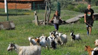 ЕК с нови санкции срещу България заради стопани, отказващи ликвидирането на чумата