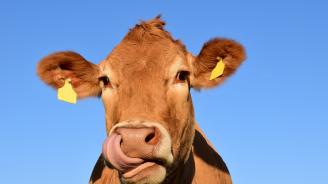 Сливен е домакин на изложение по говедовъдство