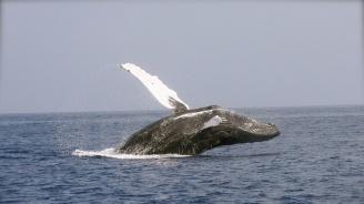 Спасители върнаха кит в океана след засядане на сушата (видео)