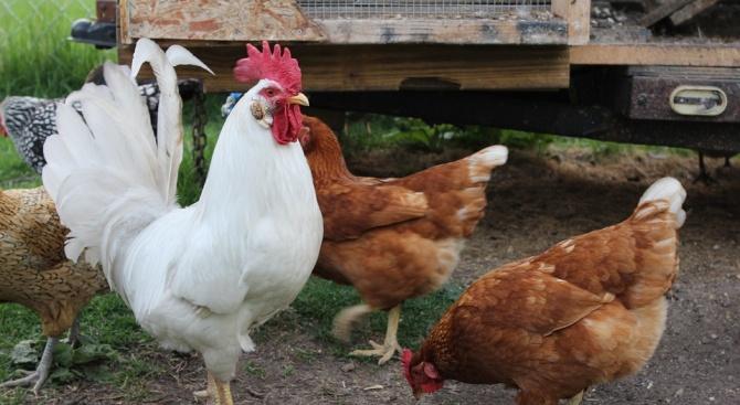 Първично огнище на заболяването Инфлуенца по птиците (грип) у нас