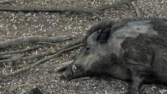 Oт този уикенд се намаляват ограниченията за лов на диви свине