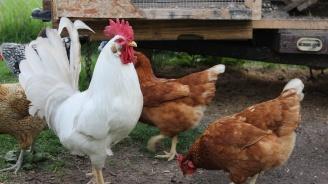 Огнище на птичи грип бе открито в село край Пловдив