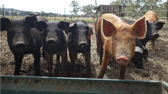 Взетите проби за Африканска чума по свинете от с. Бозвелийско са отрицателни