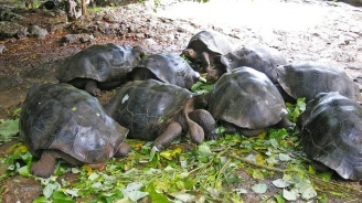 От Галапагоските острови откраднаха 123 бебета на гигантски костенурки