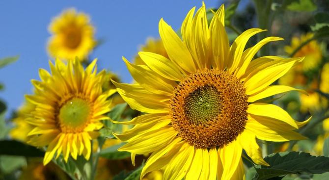 Прибран е слънчогледът в община Перник, съобщиха от областна дирекция