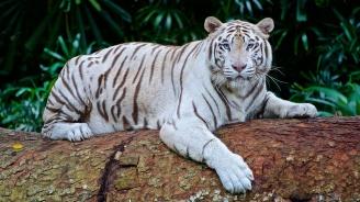 Бял тигър нападна работник в зоопарк и го уби