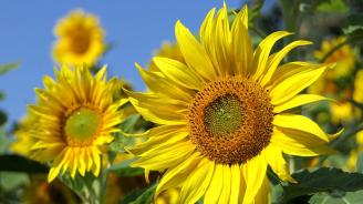 Прибран е слънчогледът в община Перник