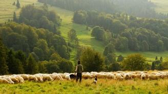 Чумата по дребните преживни животни продължава да се разпространява из Странджанско