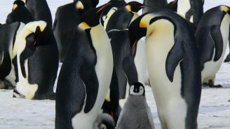 Двойка гей пингвини ще стават родители