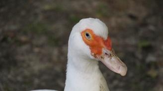 Огнища на птичи грип откриха от БАБХ в два животновъдни обекта в Хасковско