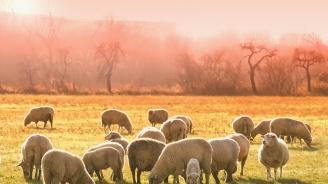 Дават субсидия на фермерите, отглеждащи кози и овце в засегнатите от чумата райони