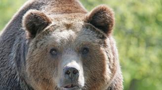 Мъж уби мечка с брадва, за да спаси жена си