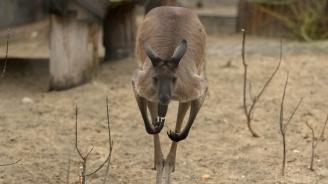 Кенгуру избяга от зоокъта в Сандански