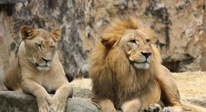 Лъвица уби партньора си след осем години съвместно съжителство. Трагичният
