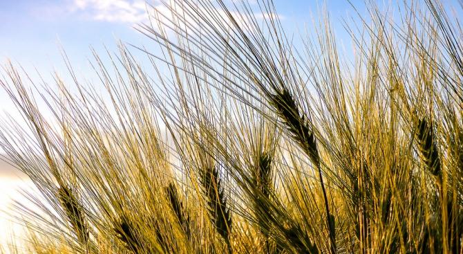 Близо 1 400 000 декара са засети с есенни култури в Добричка област