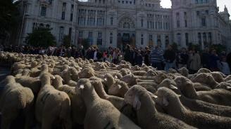 Над 1500 овце задръстиха Мадрид (снимки+видео)