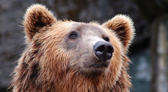 210-килограмова мечка откриха в Централен Балкан
